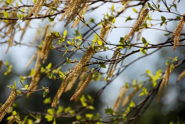 Allergiatestaus - koivu- ja heinäallergia voidaan siedättää